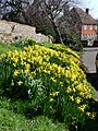 Daffodils outside the church - geograph.org.uk - 1194547.jpg