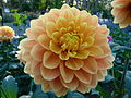 Dahlia du concours international 2012 Parc Floral Paris 17.JPG