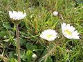 Daisy Flowers April 2014 (26).JPG