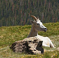 Dall Sheep (8007719693).jpg