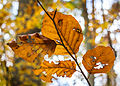 Damaged Beech Leaves in Autumn colors, Höchberg, Germany 20141108 1.jpg