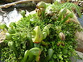 Darlingtonia californica (Sarraceniaceae) plant.jpg