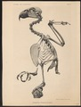 Dasyptilus pecquetii - skelet - 1879 - Print - Iconographia Zoologica - Special Collections University of Amsterdam - UBA01 IZ18600049.tif