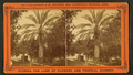 Date tree, in Dr. Peck's garden, from Robert N. Dennis collection of stereoscopic views 3.png