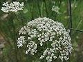 Daucus carota - flower (18219663653).jpg