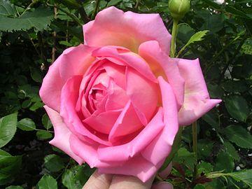 David Austin Rose Jubilee Celebration.jpg