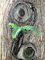 Dawn redwood trunk and needles US Capitol grounds May 2012.jpg