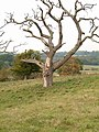 Dead Oak tree at Pestalozzi - geograph.org.uk - 125081.jpg