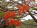 Delonix regia (Forest flame) at Thotlakonda 04.jpg