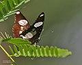 Denaid Eggfly (Hypolimnas misippus) I IMG 0439.jpg
