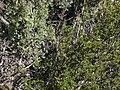 Desert bitterbrush, Purshia glandulosa foliage (right) with Purshia tridentata foliage (left) (16861050585).jpg