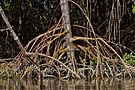 Detail of mangrove roots.jpg