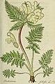 Deutschlands flora in abbildungen nach der natur (1806) (14783125823).jpg