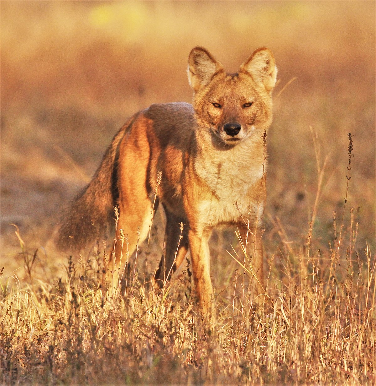 Indian Dhole Dog For Sale