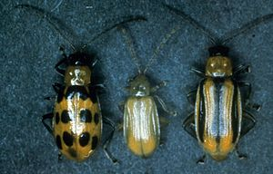 Cucumber beetle - spotted cucumber beetle, northern corn rootworm beetle, and western corn rootworm beetle