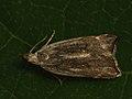 Dichomeris rasilella (40841379402).jpg