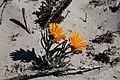 Didelta carnosa var. tomentosa (Asteraceae) (37468801002).jpg