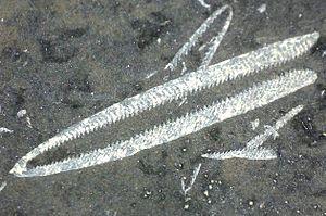 Chitinozoan - Chitinozoa may have been immature graptolites.