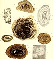 Die fossile Flora der Permischen Formation (1864) (20728272840).jpg