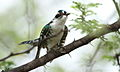 Diederik cuckoo, Chrysococcyx caprius, at Pilanesberg National Park, South Africa (15977921236).jpg