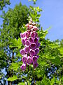 Digitalis-stora hultrum.sweden-22.jpg