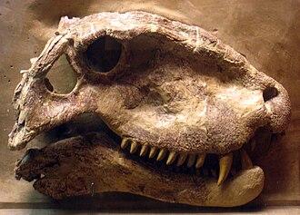 Dimetrodon - A skull of D. grandis