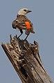 Dinemellia dinemelli -Buffalo Springs National Park, Kenya-8.jpg
