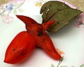 Diospyros kaki (unusual fruit form).jpg