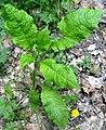 Dipsacus pilosus plant (11).jpg