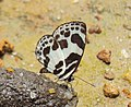 Discolampa ethion – Banded Blue Pierrot 05.JPG