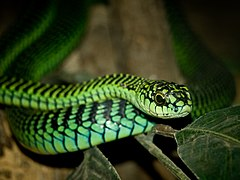 A green snake's head is prominent for a coiled snake facing the camera.