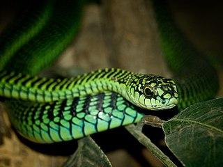 Boomslang Species of snakes of genus Dispholidus in the family Lamprophiidae