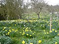 Display of daffodils by The Street on the west side of Doddington - geograph.org.uk - 736390.jpg
