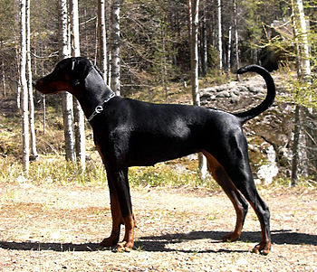 Breeds like this Doberman were specifically br...