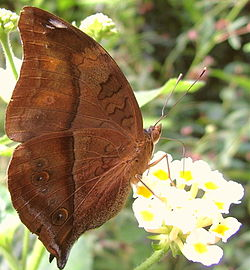 Doleschallia bisaltide (Autumn Leaf butterfly) at the London Butterfly Centre.jpg