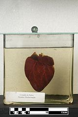 Domestic pig heart.jpg