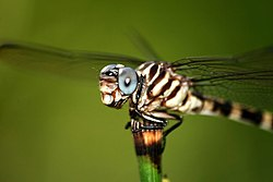 Dragonfly (Five or Four-striped Leaftail) (Phyllogomphoides albrighti or stigmatus) (23729022).jpg
