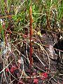 Drosera rotundifolia frucht.jpeg