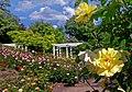 Duftende Schönheit, der Rosengarten im Kurpark Bad Mergentheim. 04.jpg