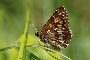 Hamearis lucina - Both males Ivinghoe Beacon, Buckinghamshire