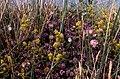 Dune flora at Mochras - geograph.org.uk - 699442.jpg