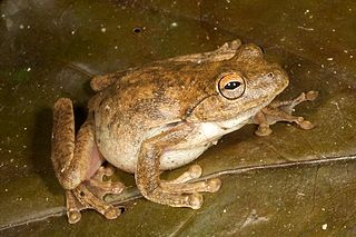 Everetts tree frog species of amphibian
