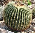 Echinocactus grusonii (aka).jpg