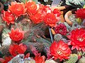 Echinopsis chamaecereus1.jpg