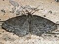 Ectropis crepuscularia - The Engrailed (dark form) - Дымчатая пяденица сумеречная (тёмная форма) (39113549890).jpg