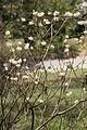 Edgeworthia chrysantha B.JPG