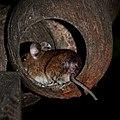 Eine Maus in einer ausgehöhlten Kokosnuss.jpg