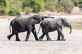Elefantes africanos de sabana (Loxodonta africana), parque nacional de Chobe, Botsuana, 2018-07-28, DD 25.jpg