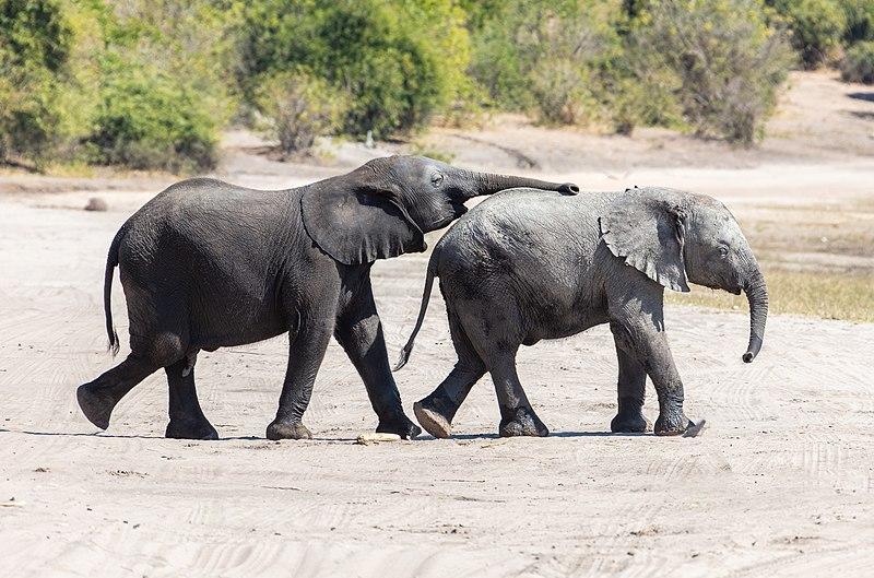 File:Elefantes africanos de sabana (Loxodonta africana), parque nacional de Chobe, Botsuana, 2018-07-28, DD 25.jpg