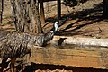 Emu (Dromaius novaehollandiae) drinking water from a water trough 01.jpg
